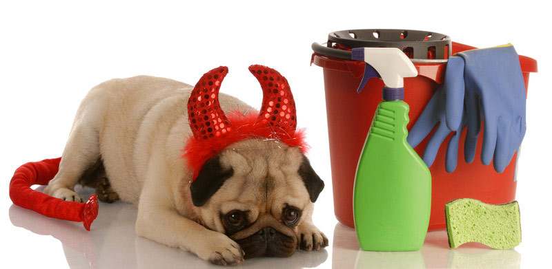 Best Carpet Cleaner For Pets Removing Pet Urine From Carpet