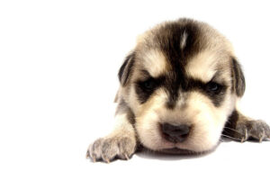cleaning up after puppies urinate on the carpet